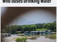 inyay/Wild buses drinking water