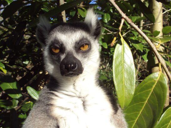 inyay/Lemur expression