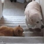 Inyay/Dog afraid of cat goes up stairs
