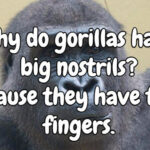Inyay/Why do gorillas have big nostrils?